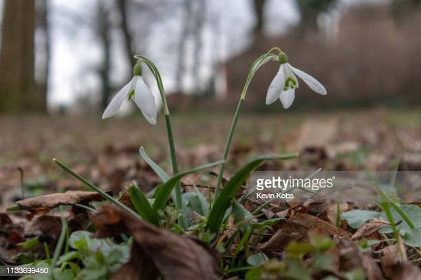 two growing snowdrops in frankfurt (oder), brandenburg, germany. - variable schärfentiefe stock pictures, royalty-free photos & images