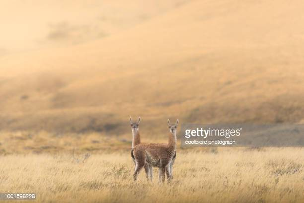 Two guanaco standing in the field