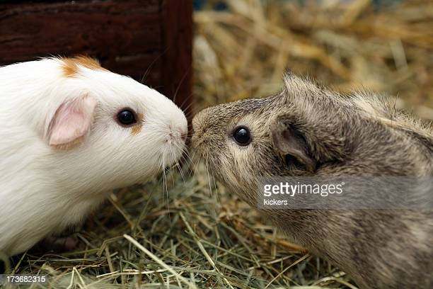 Two guinea pigs in love kissing