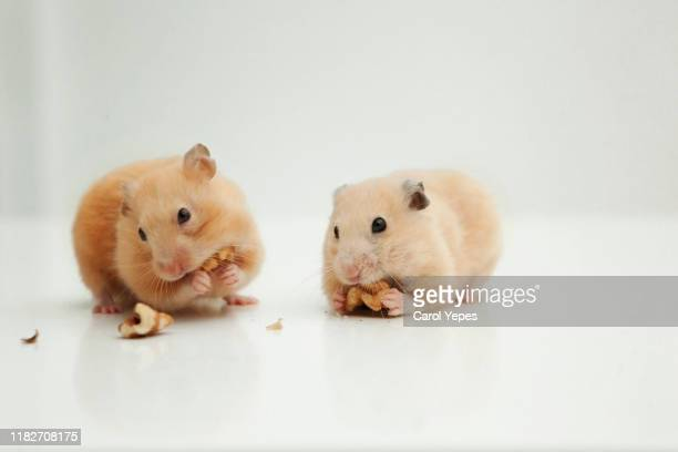 two hamster eating nuts - hamster stock-fotos und bilder