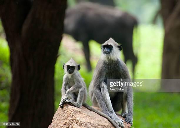 two hanuman langurs rest on a rock. - alex saberi stock pictures, royalty-free photos & images