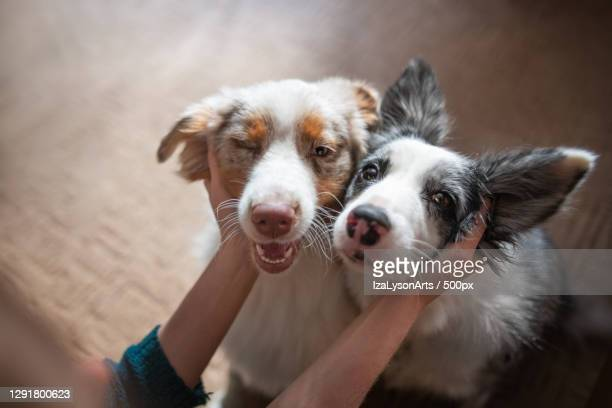 two happy border collies being pet by owner,poland - pets stock pictures, royalty-free photos & images