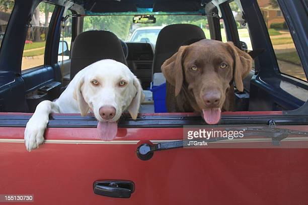 Two Happy Labrador Retrievers Riding in Red Vehicle