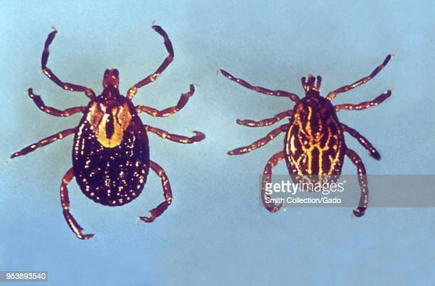 Two hard ticks carriers of the Lyme disease 1975 Image courtesy Centers for Disease Control