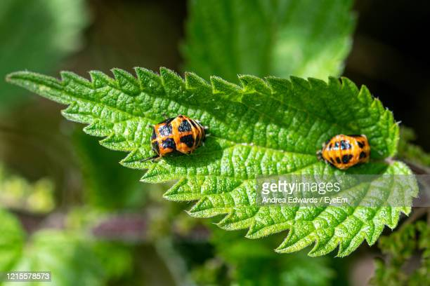 two harlequin ladybird, harmonia axyridis, pupa on the green stinging nettle leaf - one animal stock pictures, royalty-free photos & images