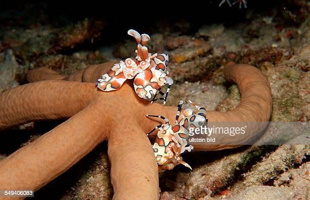 Two Harlequin shrimps feeding a starfish, Hymenoceara elegans, Maldives Island, Indian Ocean, Ari Atol