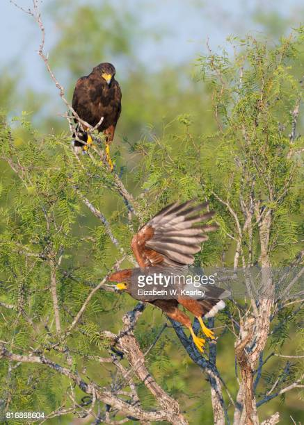 two harris hawks - harris hawk stock photos and pictures