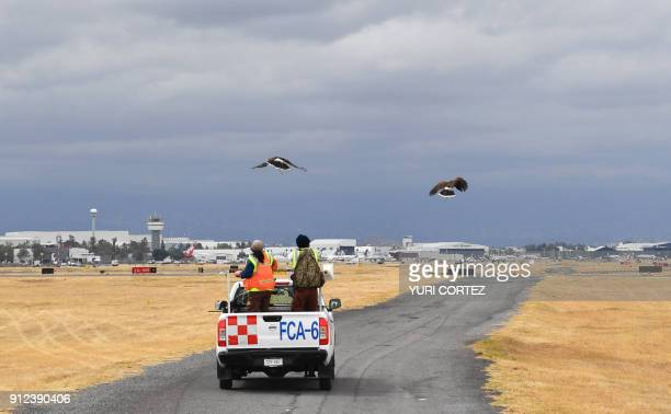 Two Harris's hawks are released by personnel of the Fumigation and Avian Control company to patrol the runways and air space over Mexico City's...