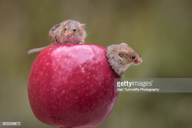 two harvest mice - field mouse - fotografias e filmes do acervo