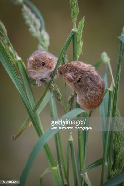 two harvest mice playing - field mouse - fotografias e filmes do acervo