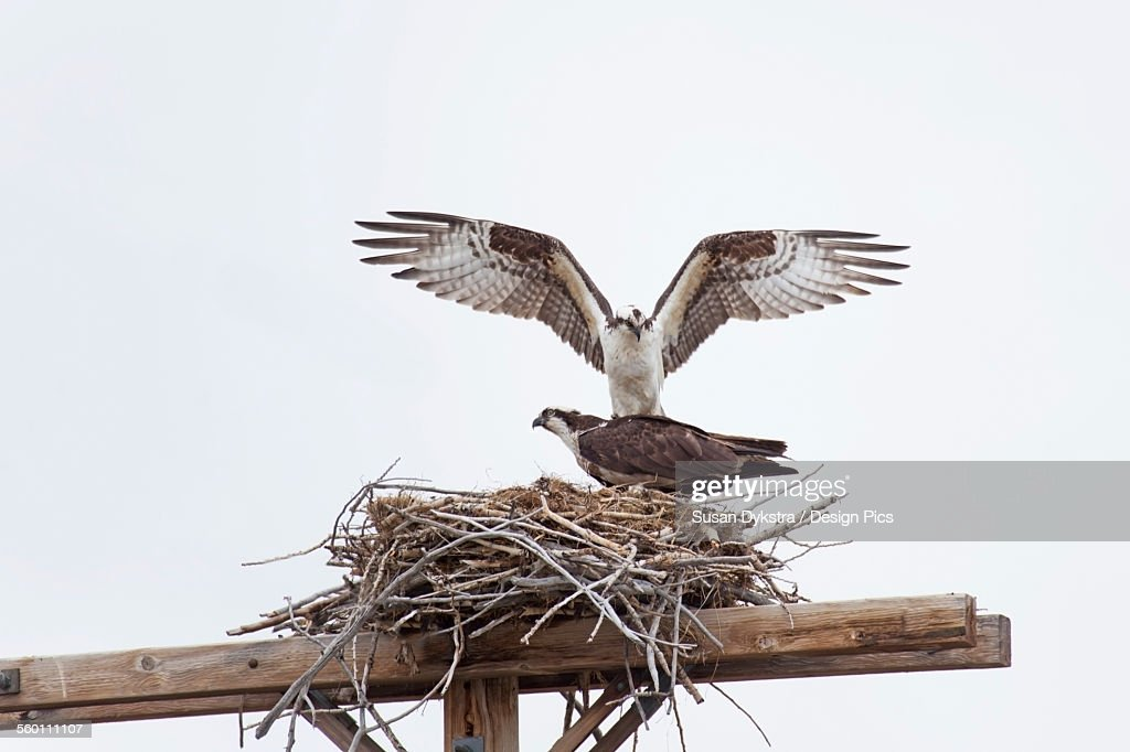 Two hawks in a nest : Stock Photo