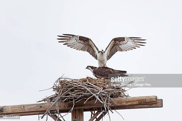 two hawks in a nest - hawk nest foto e immagini stock