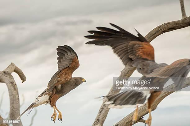 two hawks landing - arizona bird stock pictures, royalty-free photos & images