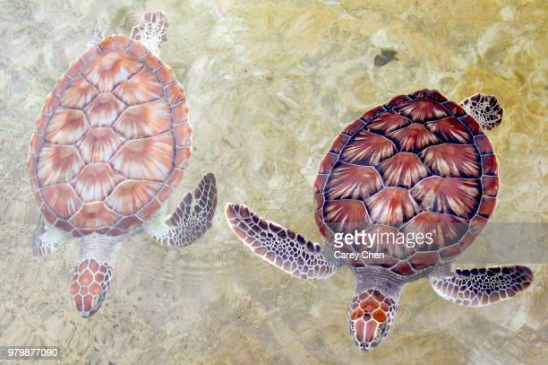 two hawksbill sea turtles (eretmochelys imbricata) in water, grand cayman, cayman islands, uk - hawksbill turtle stock pictures, royalty-free photos & images