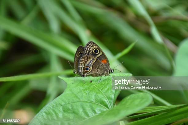 two hübner's glad-eye butterflies (calisto herophile) mating in valle de viñales, cuba - pinar del rio stock photos and pictures