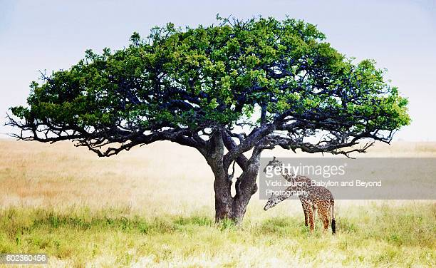 two headed giraffe under acacia tree in serengeti national park, tanzania - mimosa stock pictures, royalty-free photos & images