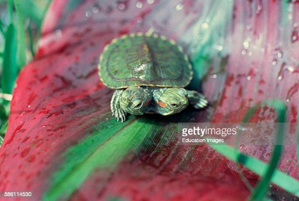 Two headed Red eared Turtle