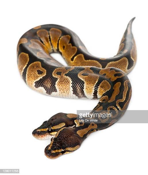 Two headed Royal Python