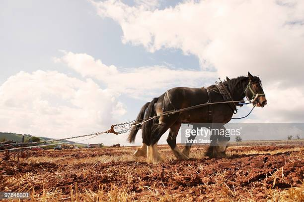 two heavy horses pulling plough