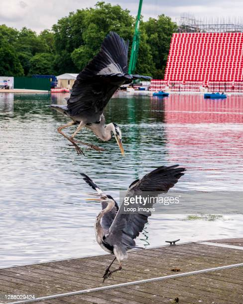 Two herons fight by the water at the Serpentine Lake in Hyde Park with a giant sculpture made by seven thousand floating barrels in the background.