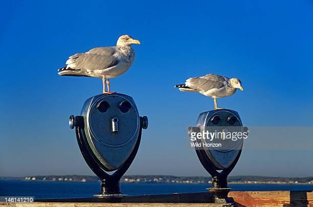 Two herring gulls atop tourist binoculars on the New England coast Cape Neddick Maine USA