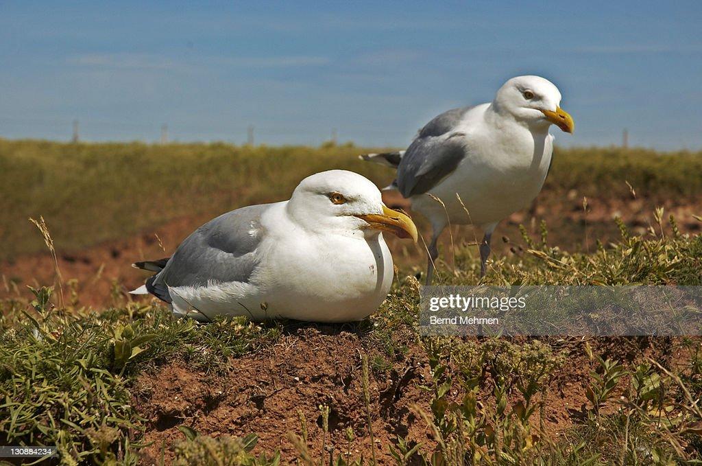 Two Herring Gulls (Larus argentatus), Helgoland Island, Schleswig-Holstein, Germany : Stock Photo