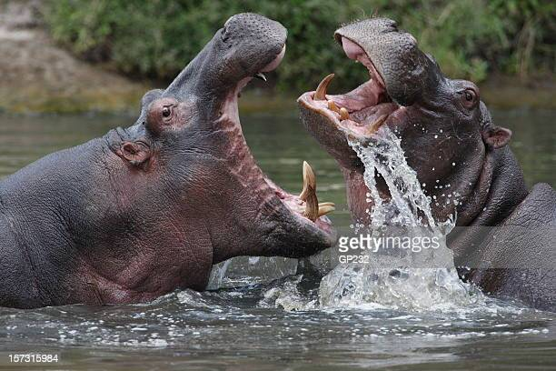 Two hippopotamuses fighting in a river