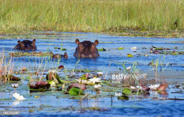 Two hippos and calf in Xigera Concession,Okavango Delta,Botswana