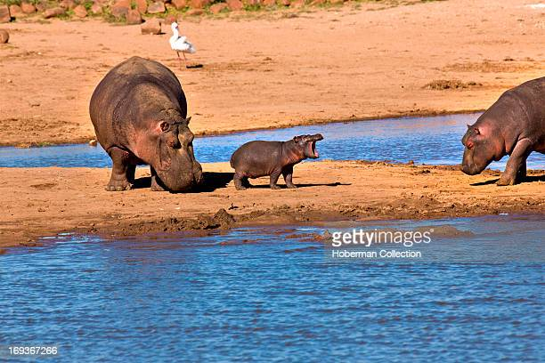 Two hippos with hippo calf on riverbed