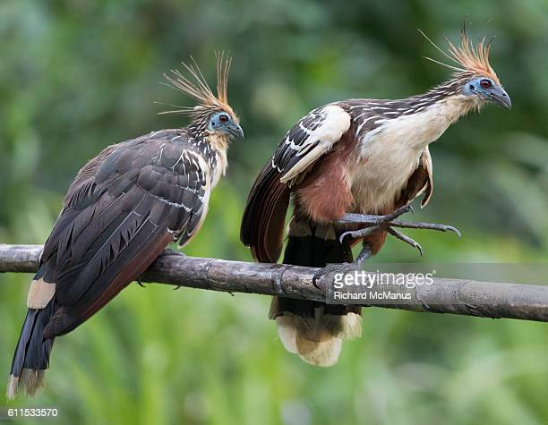 two hoatzin in manu - hoatzin stock pictures, royalty-free photos & images