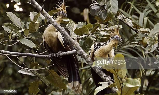 Two Hoatzin perch on a tree in the Ecuadorean Yasuni National Park, Orellana province, Ecuador, on November 10, 2012. The Yasuni National Park...