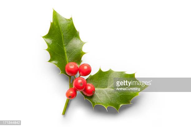 Two holy leaves with red berries on white background
