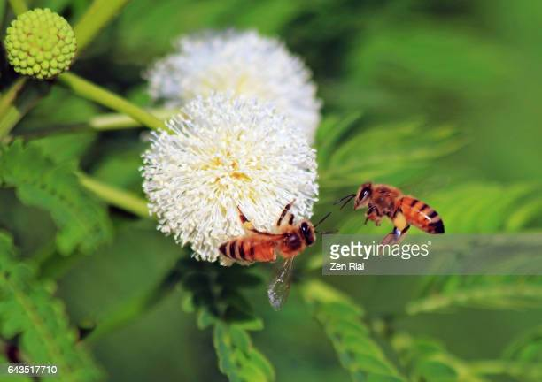 two honey bees on buttonbush (cephalanthus occidentalis) blossoms - zen rial stock photos and pictures