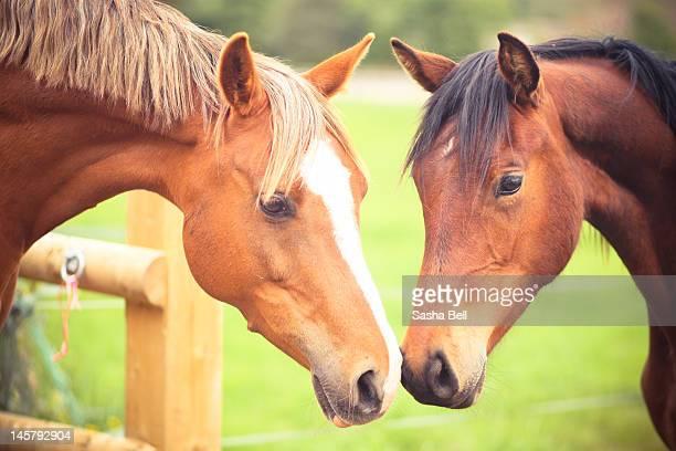 two horse - 突き出た鼻 ストックフォトと画像