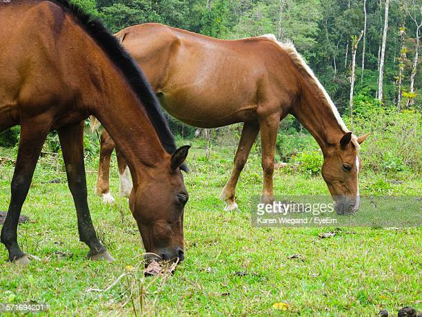 Two Horses Grazing In Pasture Near Forest