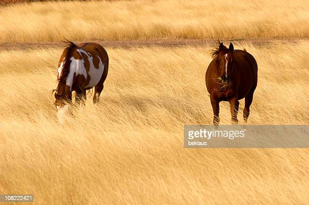 Two Horses Grazing in Straw Field