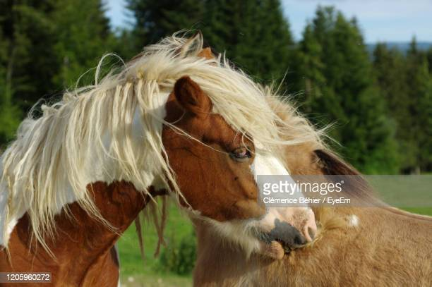 two horses grooming each other - hairy bum stock pictures, royalty-free photos & images