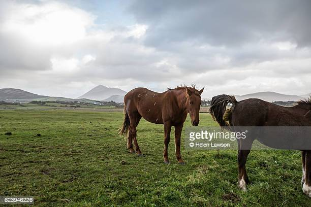 two horses in field, one producing manure - cacca foto e immagini stock