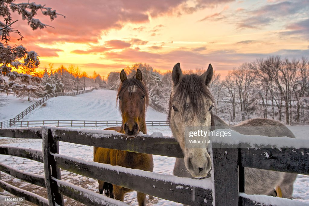Two horses in snowy pasture at sunrise : Stock Photo