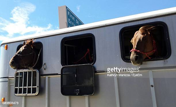 Two Horses In Trailer