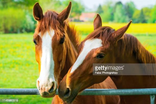 two horses kissing - twee dieren stockfoto's en -beelden