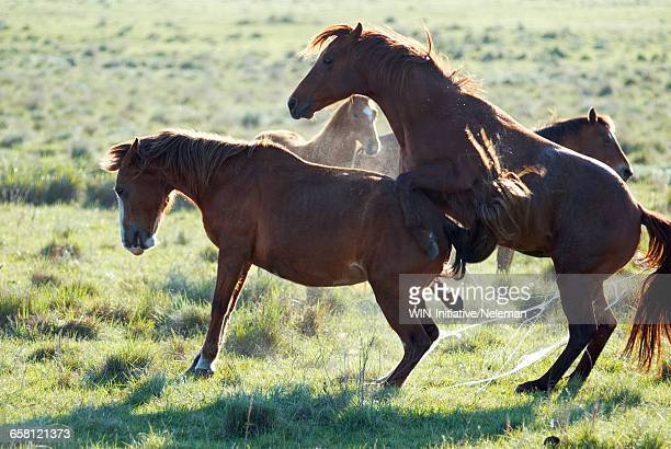 two horses mating in a field - accouplement cheval photos et images de collection