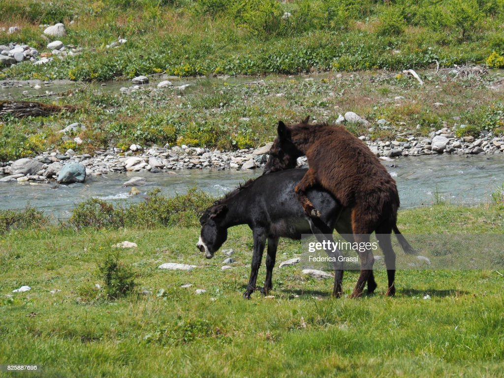 Two Horses Mating On Alpine Pasture At Alpe Veglia Natural