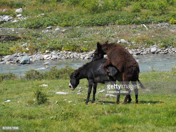 two horses mating on alpine pasture at alpe veglia natural park - accouplement cheval photos et images de collection