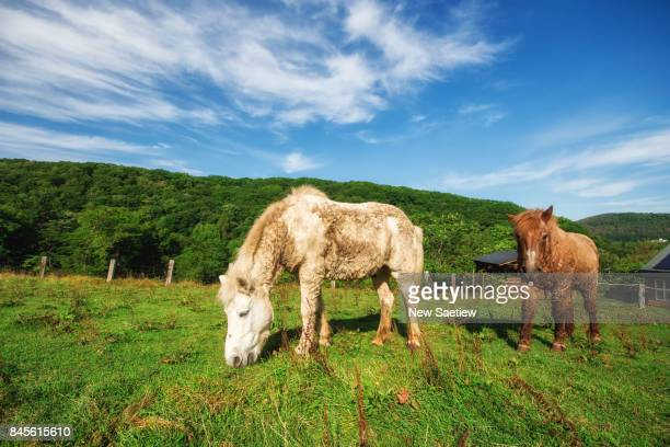 Two horses on a farm near Abashiri city., Hokkaido japan.