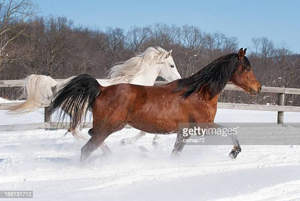 Two Horses Running in New Snow, Purebred Arabians