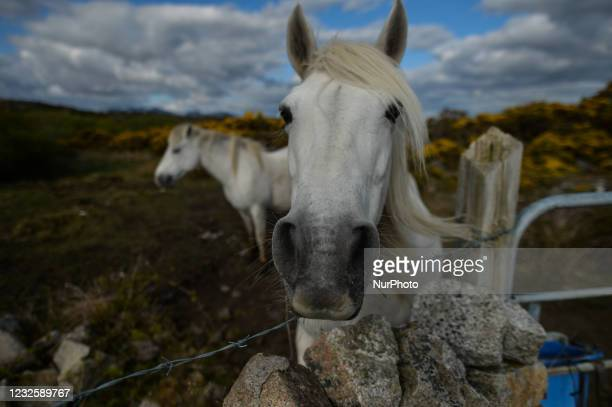 Two horses seen in a field near Ervallagh, during the COVID-19 lockdown. On Wednesday, 28 April 2021, in Ervallagh, Roundstone, Connemara, Co....