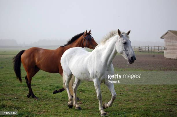 two horses trot out of the fog - thoroughbred horse stock pictures, royalty-free photos & images