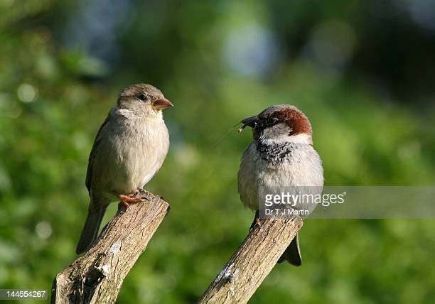 two house sparrows - male animal stock photos and pictures