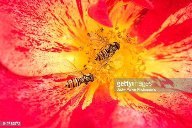 Two Hoverflies on a Vibrant summer Rose.